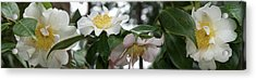 Close-up Of Details Of Camellia Flowers Acrylic Print by Panoramic Images
