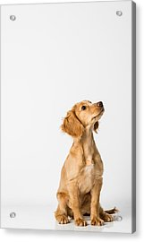 Close-up Of Dog Sitting Against White Background Acrylic Print by Peter Rose / EyeEm