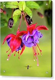 Close Up Of Fuchsia And Insect Acrylic Print by Ray Bulson
