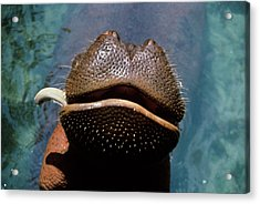 Close-up Of Hippopotamus Hippopotamus Acrylic Print
