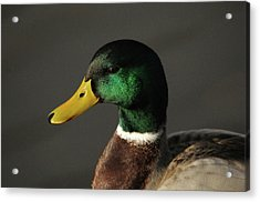 Close Up Of Male Mallard Duck Acrylic Print
