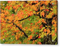 Close-up Of Maple Tree With Fall Color Acrylic Print