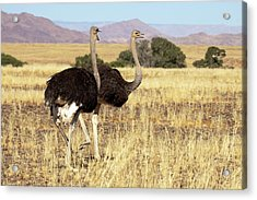Close-up Of Ostrich (struthio Camelus Acrylic Print