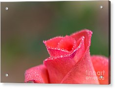 Close-up Of Pink Rose With Water Drops Acrylic Print by Tosporn Preede