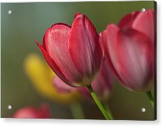 Close-up Of Red And Yellow Tulips Acrylic Print by Rona Schwarz