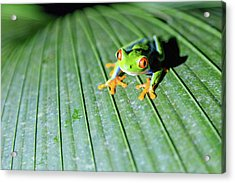 Close Up Of Red Eyed Tree Frog, Costa Acrylic Print by Matteo Colombo