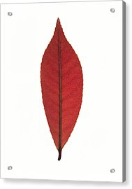 Close Up Of Red Leaf On White Acrylic Print by Panoramic Images