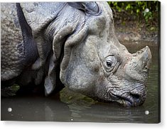 Close Up Of Rhino Drinking Rhinoceros Unicornis Acrylic Print by Gino De Graaf