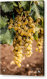 Close Up Of Ripe Wine Grapes On The Vine Ready For Harvesting Acrylic Print