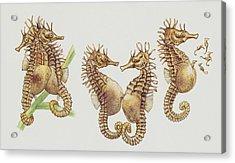 Close-up Of Sea Horses Acrylic Print by English School
