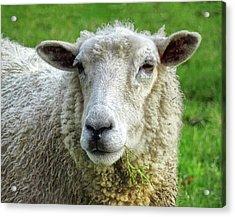 Close Up Of Sheep Acrylic Print by Patricia Hamilton