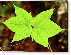 Close Up Of The Paired Leaves Acrylic Print