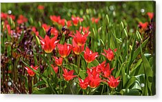 Close-up Of Tulip Flowers Blooming Acrylic Print
