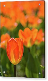 Close-up Of Tulip Flowers, Niagara Acrylic Print