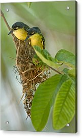 Close-up Of Two Common Tody-flycatchers Acrylic Print