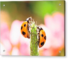Close Up Of Two Ladybugs Acrylic Print