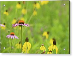 Close-up Of Various Coneflowers Acrylic Print by Panoramic Images