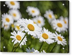 Close-up Of White Daisy Flowers Acrylic Print
