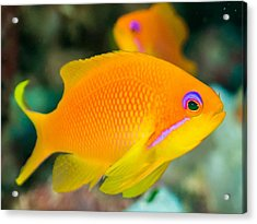 Close-up Of Yellow Fish Swimming Acrylic Print by Oscar Robertsson / Eyeem