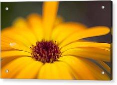 Close-up Of Yellow Flower Acrylic Print by Paulien Tabak / EyeEm