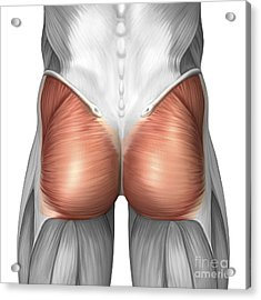 Close-up View Of Human Gluteal Muscles Acrylic Print by Stocktrek Images