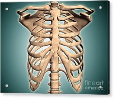 Close-up View Of Human Rib Cage Acrylic Print by Stocktrek Images
