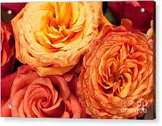 Close Up View Of Pink Orange Yellow Hybrid Tea Roses Acrylic Print