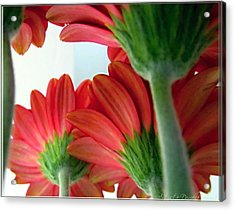 Close View From Under The Red Daisies Acrylic Print by Danielle  Parent