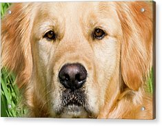 Close View Of Head Golden Retriever Acrylic Print by Piperanne Worcester