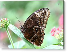 Closed Blue Morpho Acrylic Print