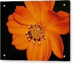 Closeup Cosmos Acrylic Print by Monica Veraguth