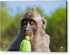 Closeup Monkey Eating Cucumber Acrylic Print