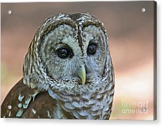 Closeup Of A Barred Owl  Acrylic Print