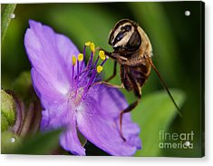 Closeup Of A Bee On A Purple Flower Acrylic Print