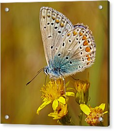 Closeup Of A Common Blue Butterfly Acrylic Print