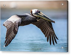 Closeup Of A Flying Brown Pelican Acrylic Print by Andres Leon