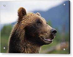 Closeup Of Brown Bears Head And Face Acrylic Print by Doug Lindstrand