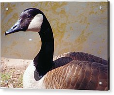 Closeup Of Canadian Goose Acrylic Print by Barb Baker