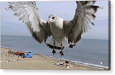 Closeup Of Hovering Seagull Acrylic Print