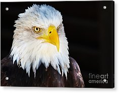 Closeup Portrait Of An American Bald Eagle Acrylic Print