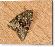 Clouded Brindle Moth Acrylic Print