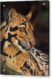 Clouded Leopard Acrylic Print by David Stribbling