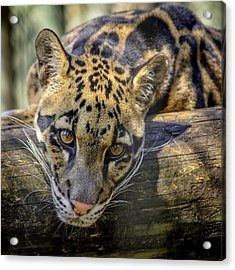 Acrylic Print featuring the photograph Clouded Leopard by Steven Sparks