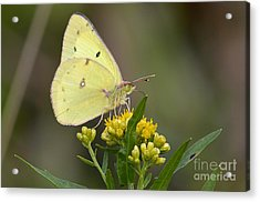 Acrylic Print featuring the photograph Clouded Sulphur by Randy Bodkins