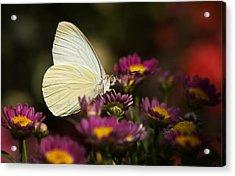 Cloudless Sulphur Butterfly  Acrylic Print by Saija  Lehtonen