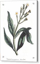 Clove Eugenia Aromatica Acrylic Print by Anonymous