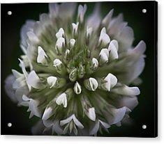 Acrylic Print featuring the photograph Clover All Over by Annette Hugen