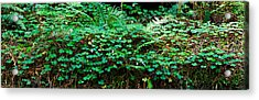 Clover And Ferns On Downed Redwood Acrylic Print