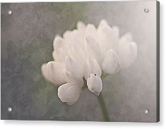 Clover In White Acrylic Print by Faith Simbeck