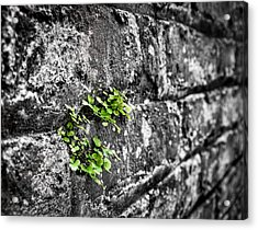 Clover On The Wall Acrylic Print by Andrew Crispi